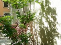Acer palmatum crispum, riflessi dal sapor d'oriente