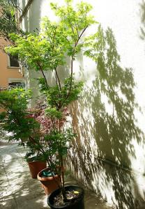 acer-palmatum-crispum