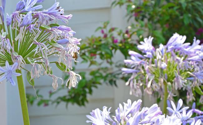 Agapantus in fiore
