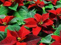 Stella di Natale ma bella tutto l'anno!